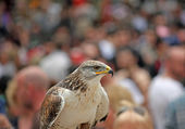 Attentive Raptor falco in a crowd of control the situatio — Stock Photo