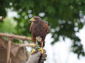 Falconer hawks trainer keeps dangerous prey on the hand — Stock Photo