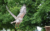 Grazing flight of a wild Falcon Raptor in nature — Stock Photo