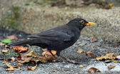 Black Blackbird hunting with a worm in the yellow beak — Stock Photo