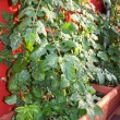 Stock Photo: Tomato plant cultivated in terraces in large Brown vase