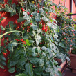 Stock Photo: Tomato plants with fruits grown in pot on terrace
