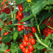 Stock Photo: Tomato red plum tomato cluster type and yellow plant flower