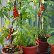 Red cluster tomato in a cultivated plant in town on a balcony - Stock Photo