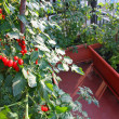 Stock Photo: Tomato plants with red fruits grown in pot on terrace of a