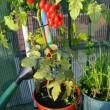 Stock Photo: Red tomatoes in pots on terrace and watering can