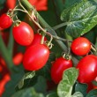 Stock Photo: Bunch of ripe tomatoes red surrounded by green leaves