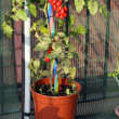 Tomato plant grown on the terrace with a hoe on the floor — Stok fotoğraf