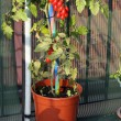Tomato plant grown on the terrace with a hoe on the floor — Стоковая фотография