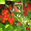 Stock Photo: Red tomatoes and bunch still green plant