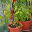 Stock Photo: Tomato plant in pots on terrace with shovel to dig