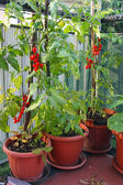 Red cluster tomato in a cultivated plant in town on a balcony — Stock Photo