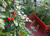 Tomato plants with red fruits grown in a pot on the terrace of a — Stock Photo
