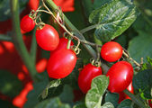Bunch of ripe tomatoes red surrounded by green leaves — Stock Photo