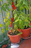 Tomato plant in pots on the terrace with a shovel to dig — Stock Photo