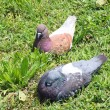 Pair of pigeons perched on the green lawn during the hatching of — Stock Photo
