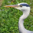 Grey heron bird with very long beak — Stock Photo #26559703