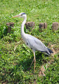 Grey heron bird with long beaks and feet high — Stock Photo