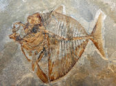 Ancient fossil of a fish of a breed extinct for millions of year — Stock Photo
