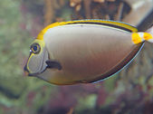 White tropical fish with veining swims in temperate seas — Stock Photo