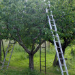 Orchard with aluminum ladder propped to fruit trees during harve — Stock Photo