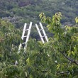 Orchard with aluminum ladder propped to fruit trees during harve — Stock Photo #26761491