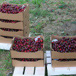Crates full and basket of great and juicy ripe red cherries on s — Stock Photo