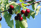 Beautiful rich red branch ripe cherries and green leaves — Stock Photo