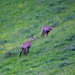 Two chamois in the mountains while grazing lawn — Stock Photo