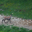 Elengate chamois walk into the middle of the mountain trail — Stock Photo