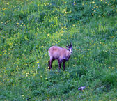 Chamois afraid amidst the green meadow in the mountains — Stock Photo