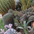 Zdjęcie stockowe: Mix of many succulents and cactus with sharp prickles and thorns