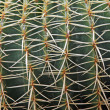 Stock Photo: Quills and prickly cactus spines of dangerous succulent plant