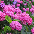 Flower bed full of purple hydrangea flowers and pink and blue — Stock Photo #27691727