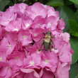 Stock Photo: Big insect similar to cricket leaned over hydrangeflower