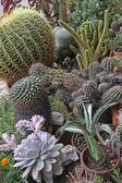 Mieszanką wielu sukulentów i kaktusów z ostre kolki i ciernie — Zdjęcie stockowe