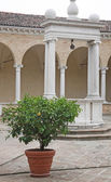 Plant with ripe lemon yellow in the middle of the cloister near — Stok fotoğraf