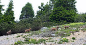 Wild herd of chamois in the wild while graze amid the rocks — Stock Photo