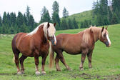 Two Brown horses Stallion with the blonde mane agitated by the w — Stock Photo