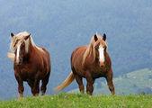 Dwa brązowe konie ogierów na szczycie góry latem — Zdjęcie stockowe