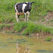 Cow grazing in alpine mountain lake while drinking — Stock Photo