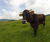 Young brown cow grazing in the middle of the alpine meadow in th — Stock Photo