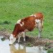 Stock Photo: Brown cow grazing in alpine mountain lake while drinking