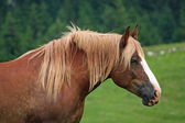Brown horse Stallion with the blonde mane agitated by the wind — Stock Photo