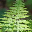 Stock Photo: Fern leaf green in middle of undergrowth in mountain