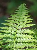 Fern leaf green in the middle of the undergrowth in the mountain — Stock Photo