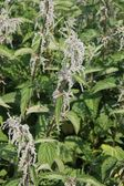 Pungent and irritating nettle plants excellent for preparing a t — Stock Photo