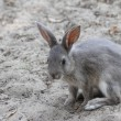 Grey rabbit ready to pounce forward with a snappy sprint — Stock Photo