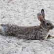 Stock Photo: Humorous tired rabbit lying down to rest