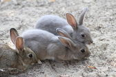 Three rabbits with the soft hair and long ears — Stock Photo